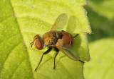 Gymnosomatini Parasitic Fly species