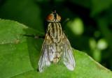 Sarcophagidae Flesh Fly species