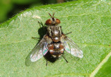 Tachinidae Parasitic Fly species