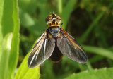 Trichopoda lanipes; Feather-legged Fly species; male