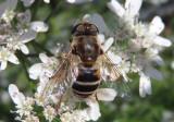 Eristalis dimidiata; Syrphid Fly species