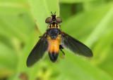 Trichopoda pennipes; Feather-legged Fly species