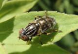 Eristalinus aeneus; Syrphid Fly species; female; exotic