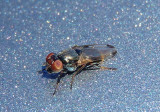 Euxesta notata; Picture-winged Fly species; female
