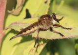 Promachus hinei; Robber Fly species; female