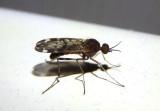 Sylvicola alternatus; Wood Gnat species
