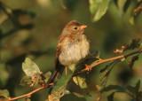 Field Sparrow; juvenile
