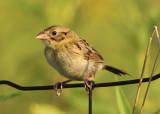 Henslow's Sparrow; juvenile