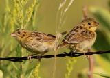 Henslow's Sparrows; juveniles