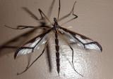 Pedicia albivitta; Giant Eastern Crane Fly