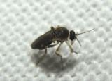 Forcipomyia Biting Midge species