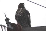 Harlan's Red-tailed Hawk; juvenile