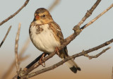 Harris's Sparrow; juvenile