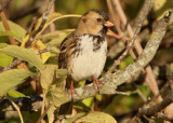 Harris's Sparrow; basic