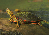 Northern Painted Turtle