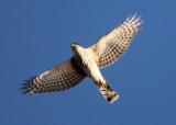 Sharp-shinned Hawk; juvenile