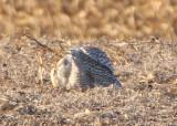 Snowy Owl; immature female
