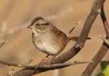 Swamp Sparrow; basic