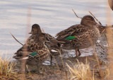 Green-winged Teal; females