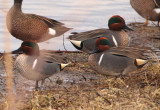 Green-winged Teal; males