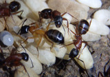 Camponotus vicinus; Carpenter Ant species