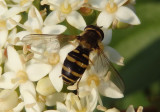 Parasyrphus genualis; Syrphid Fly species; female
