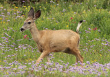Mule Deer; female