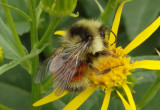 Bombus huntii; Hunt's Bumble Bee