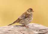 Chipping Sparrow; immature