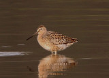 Long-Billed Dowitcher; breeding
