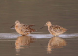 Long-billed Dowitchers; breeding
