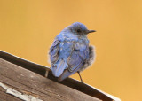 Mountain Bluebird; immature male