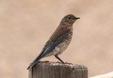 Mountain Bluebird; immature
