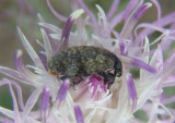 Rhinocyllus conicus; Thistle Head Weevil; exotic