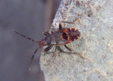 Rhyparochromidae Dirt-colored Seed Bug species nymph