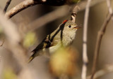 Ruby-crowned Kinglet; male