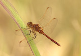 Sympetrum costiferum; Saffron-winged Meadowhawk; young male