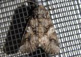 10317 - Hadena capsularis; Capsule Moth