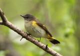 American Redstart; female