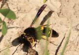 Ancistrocerus spinolae; Mason Wasp species; female