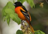 Baltimore Oriole; male