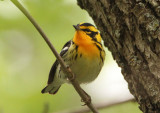 Blackburnian Warbler; male