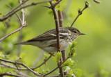 Blackpoll Warbler; female