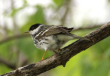 Blackpoll Warbler; male