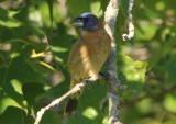 Blue Grosbeak; immature male