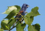 Blue Grosbeak; male