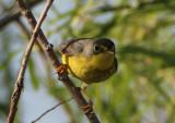 Canada Warbler; female