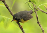 Canada Warbler; male