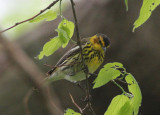 Cape May Warbler; male