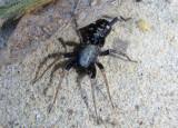Castianeira longipalpa; Ground Sac Spider species